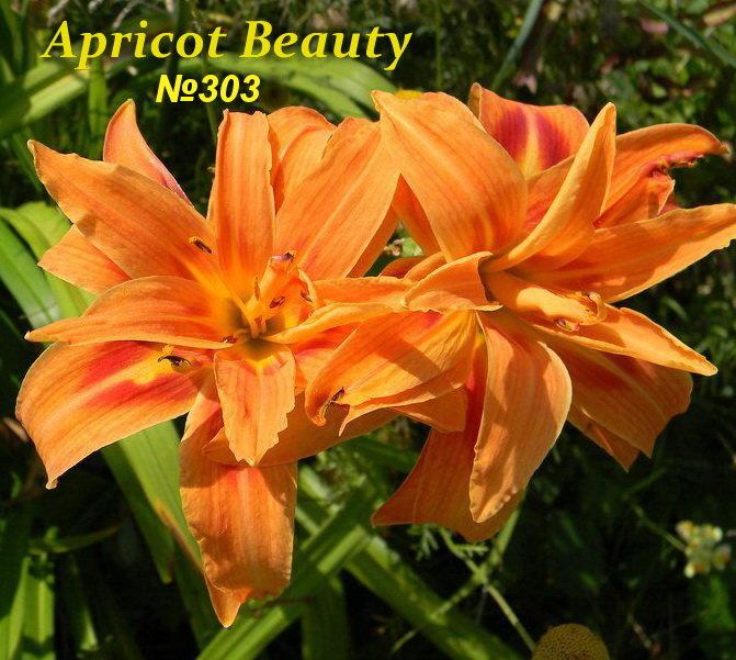 №303  Apricot Beauty ( Априкот Бьюти)