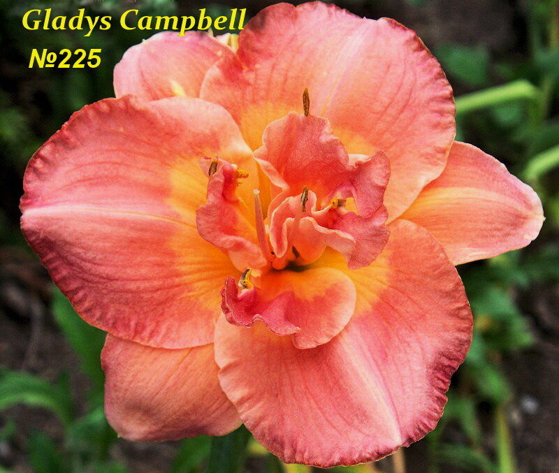 №225 Gladys Campbell