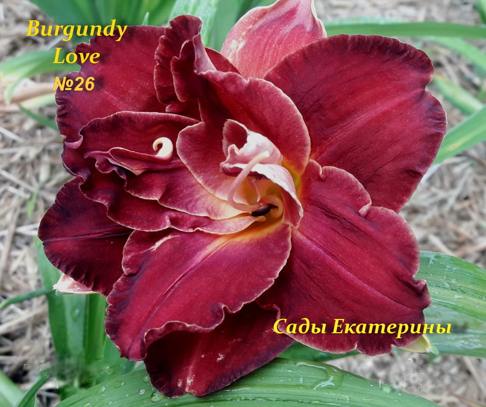 №26 Burgundy Love (Бургунди Лав)