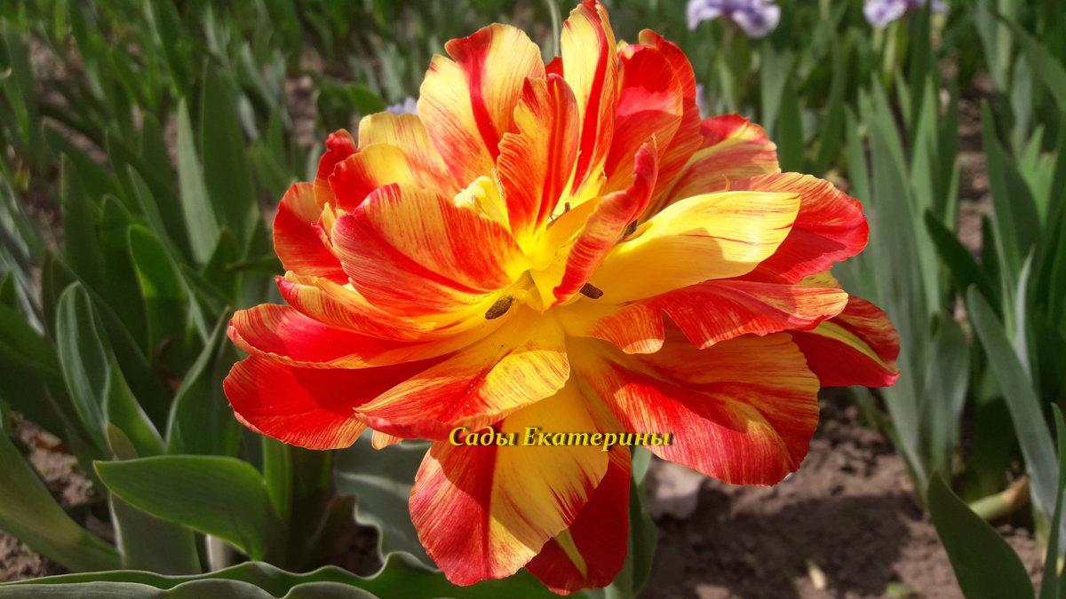 №4 Тюльпан махровый  низкорослый