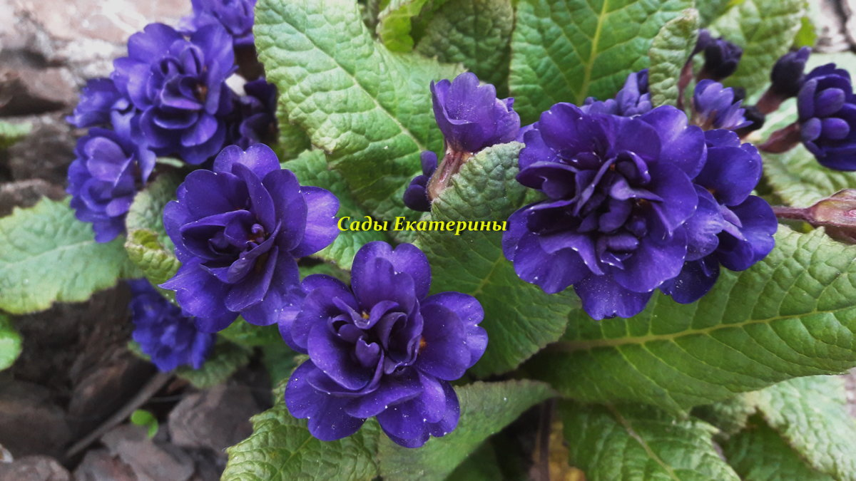 №1 Primula 'Strong Beer'