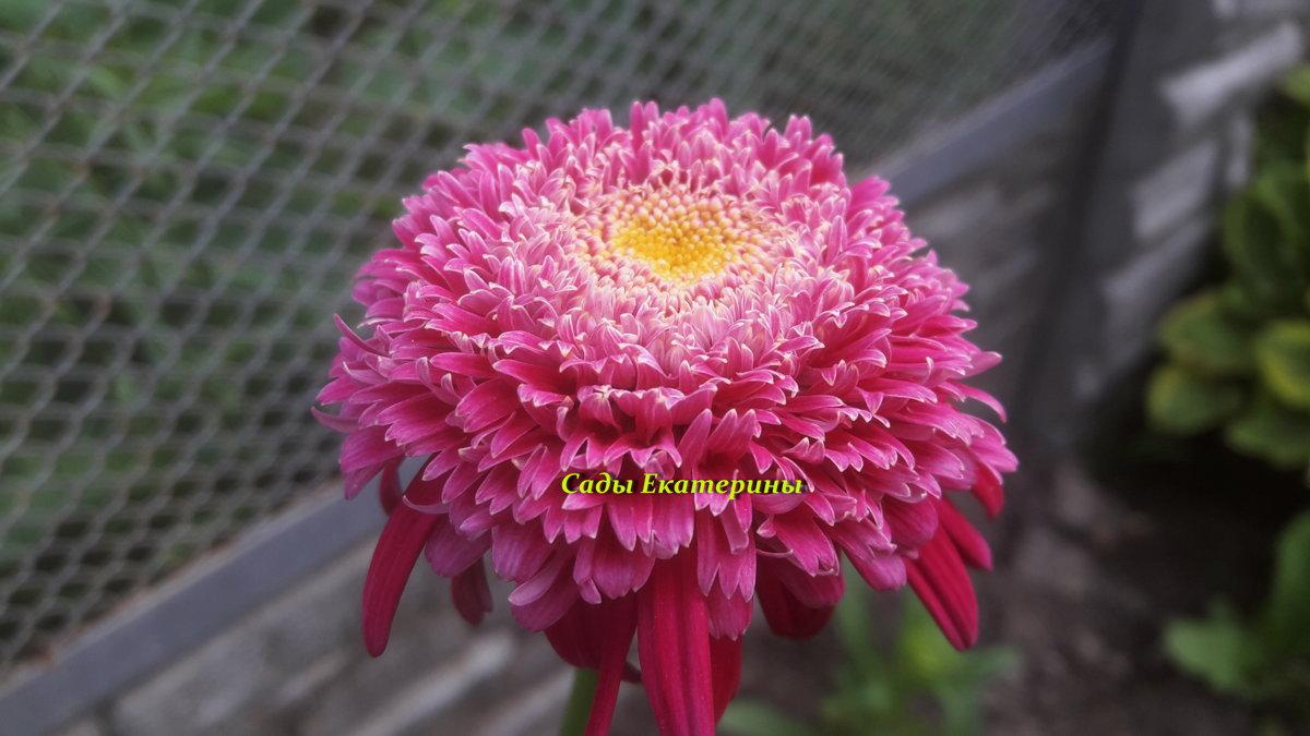 №3  Ромашка махровая малиновая  (пиретрум)