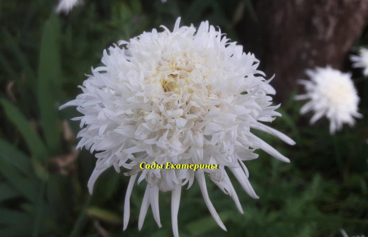 №23  Пиретрум белый махровый