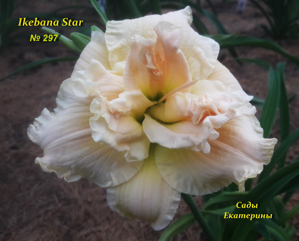 № 297   IKEBANA STAR
