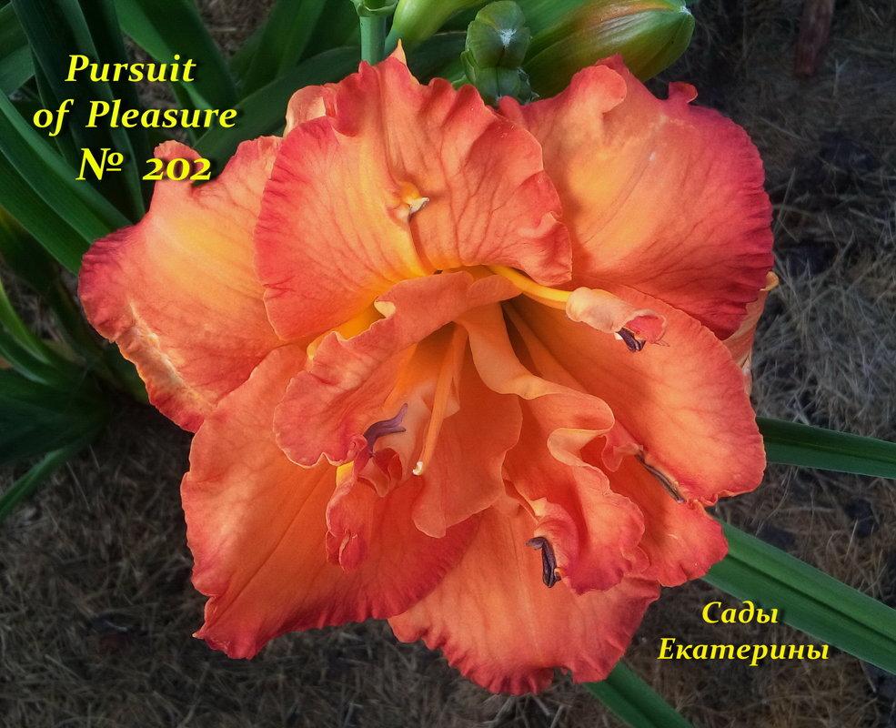 №202  Pursuit Of Pleasure