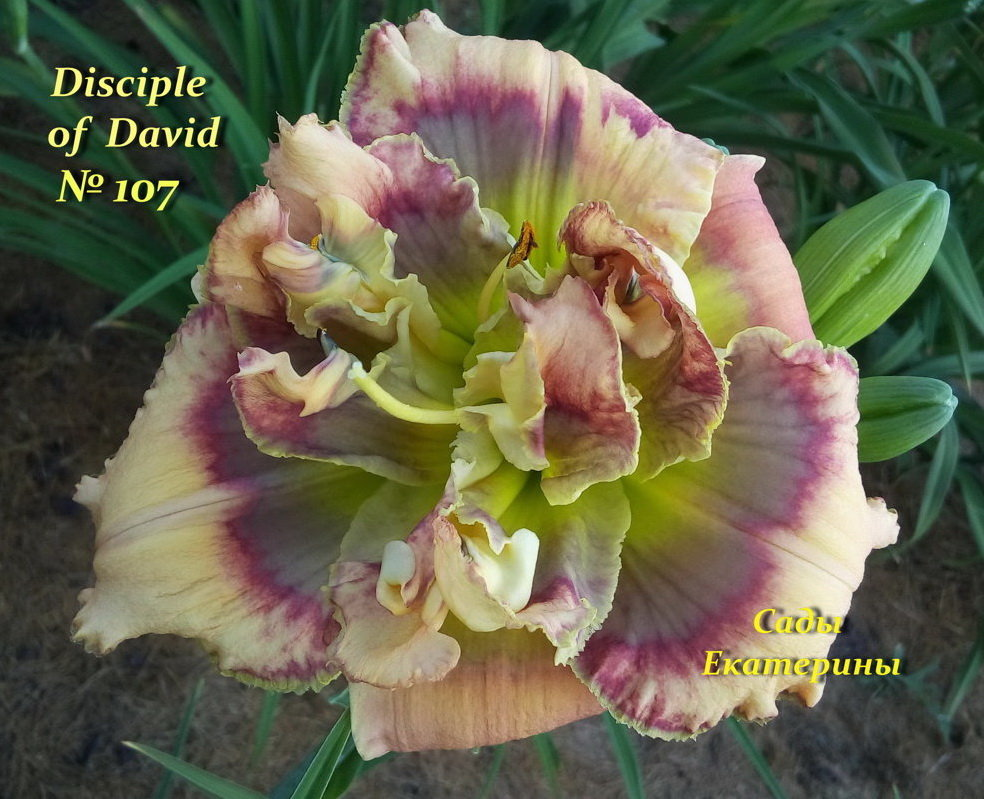 №107  Disciple of David