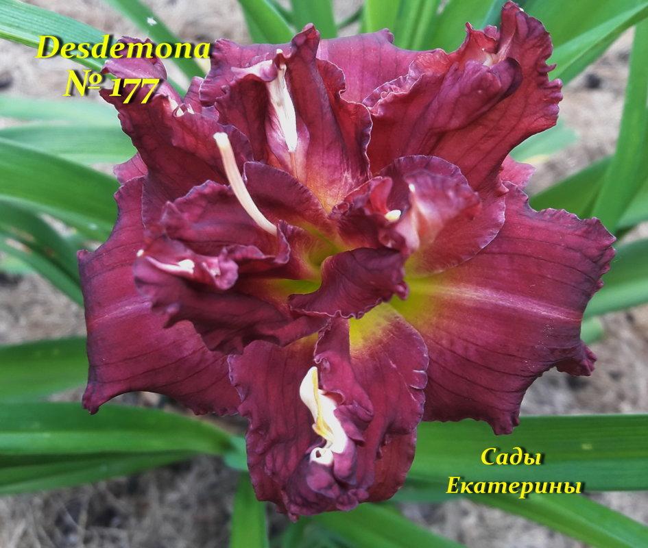 №177  Desdemona