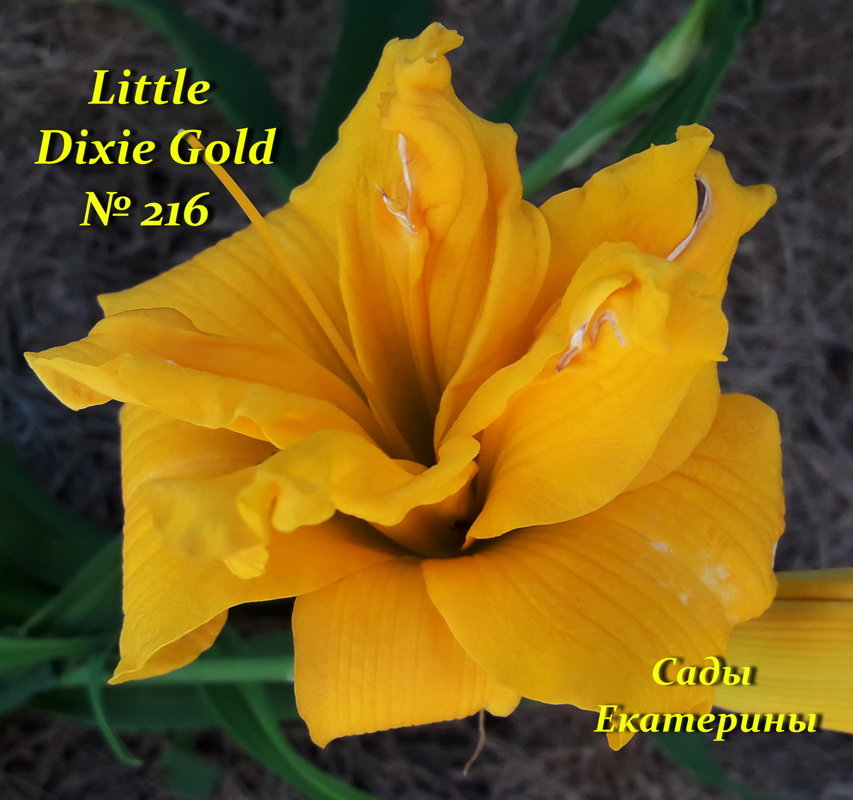 №216   Little Dixie Gold