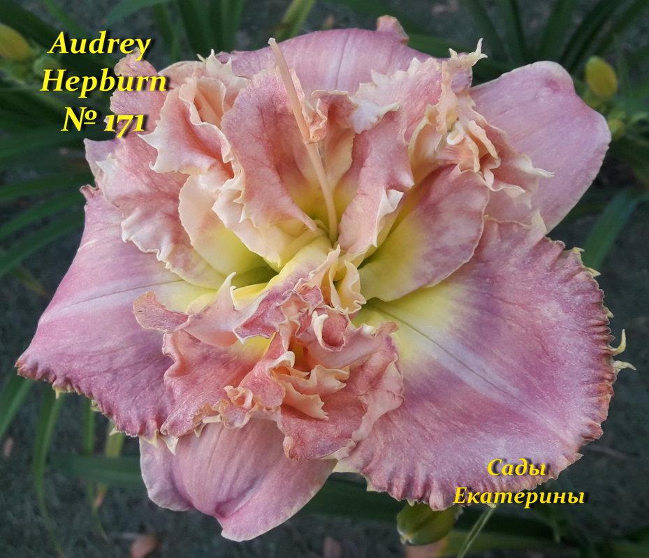 №171  Audrey Hepburn