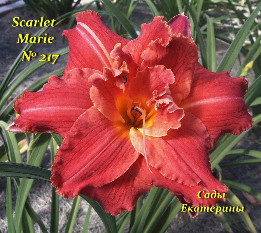 №217  Scarlet Marie