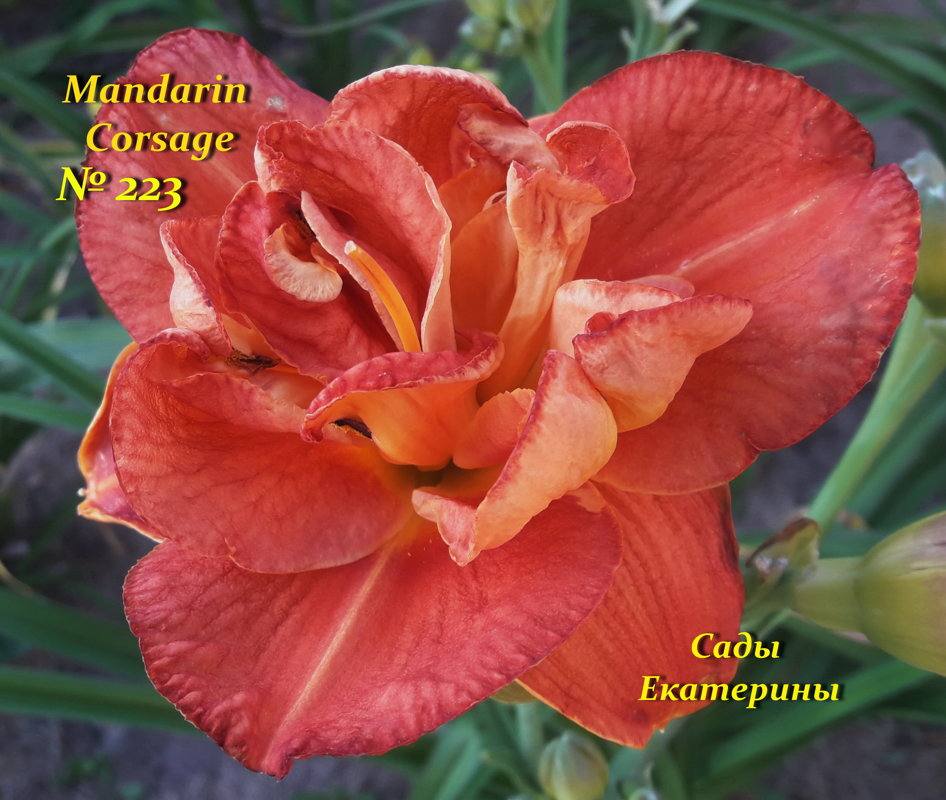 №223 Mandarin Corsage