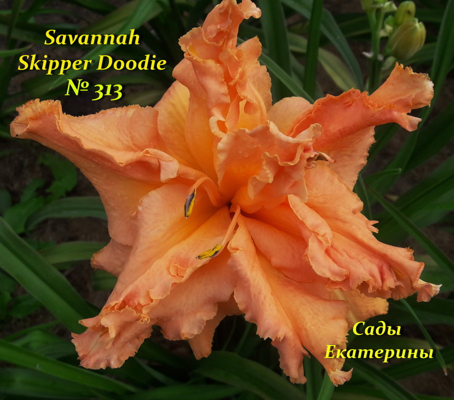 №313 Savannah Skipper Doodle