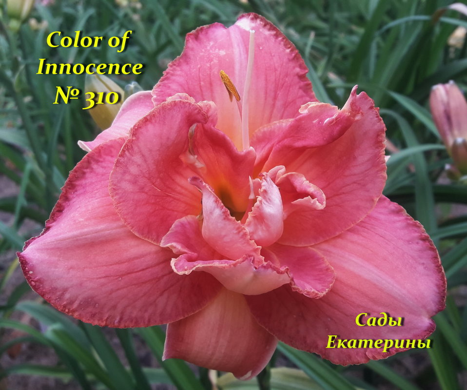 №310 Color Of Innocence