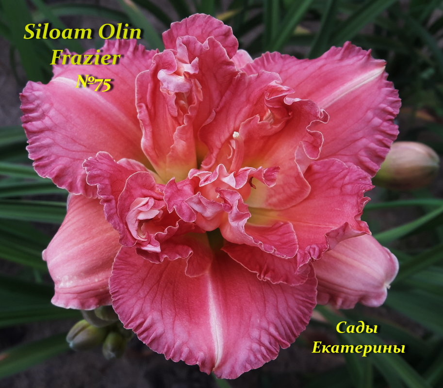 №75  Siloam Olin Frazier (Силоам Олин Фрейзер)