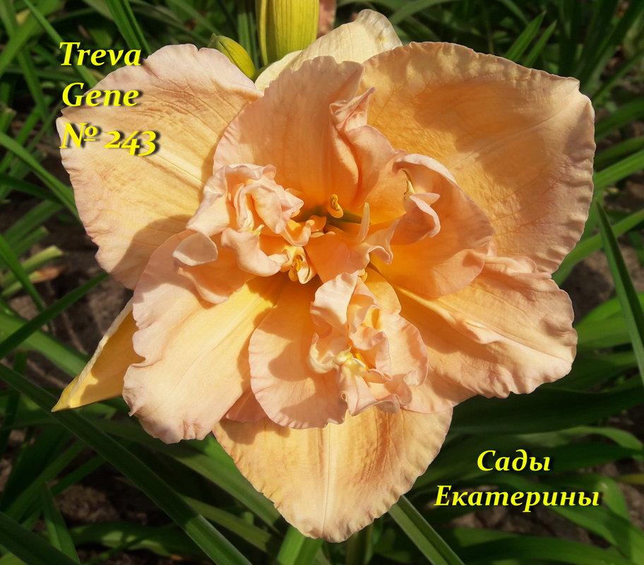 №243 TREVA GENE
