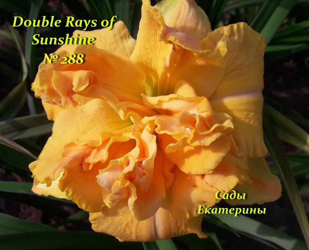 №288  DOUBLE RAYS OF SUNSHINE