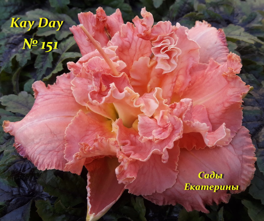 №151  Kay Day