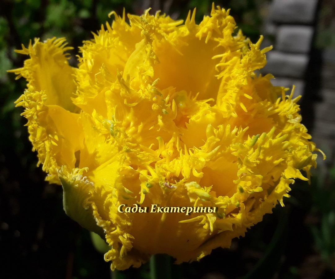№11  Mon Amour  (  Мон Амур)   тюльпан бахромчатый махровый