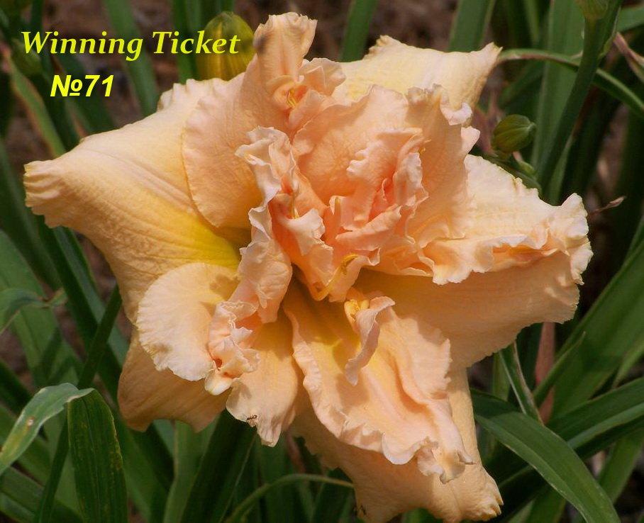 №71 Winning Ticket