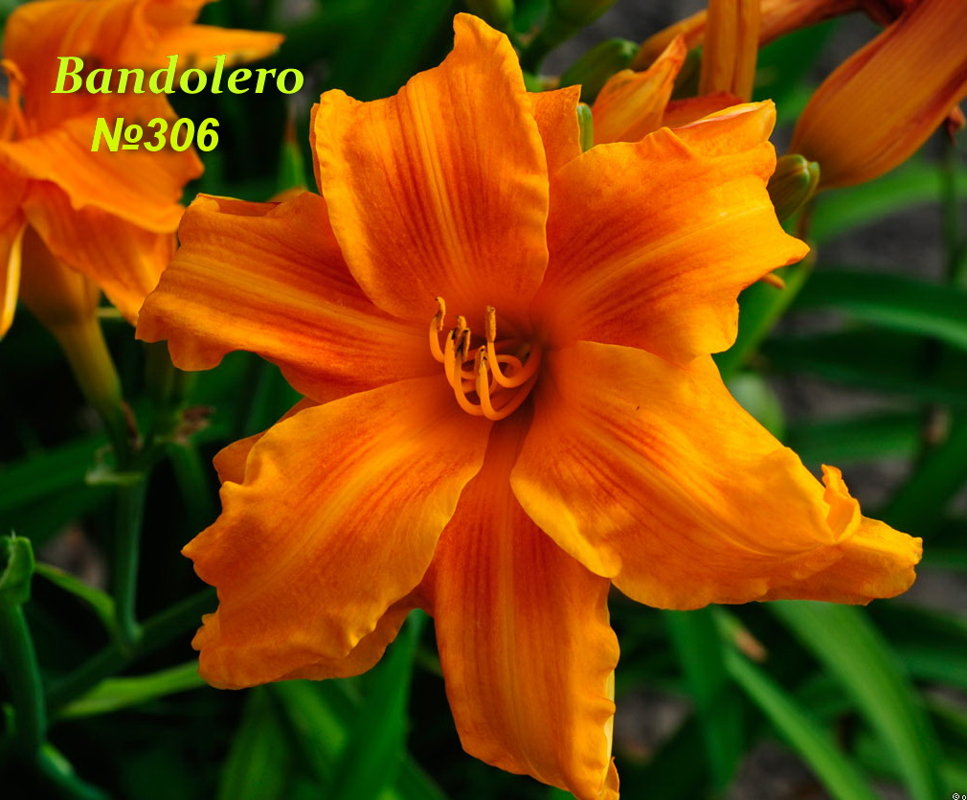 №306 Bandolero