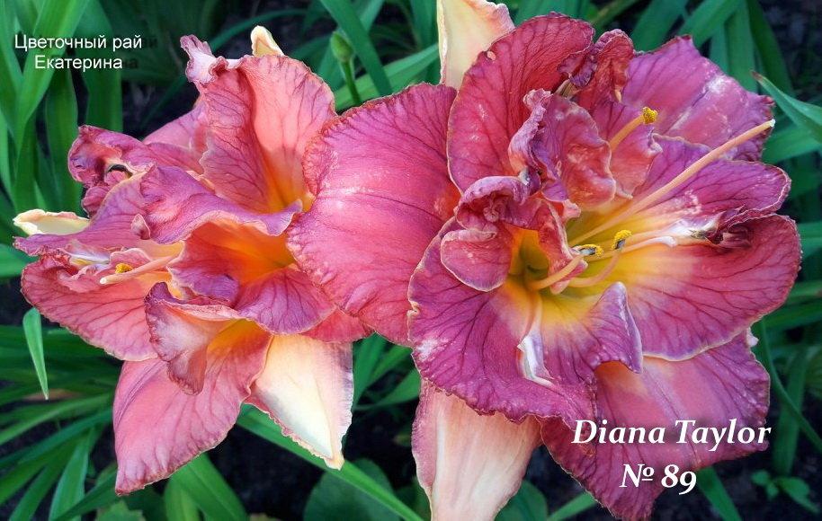 №89   Diana Taylor  (  Диана Тейлор )