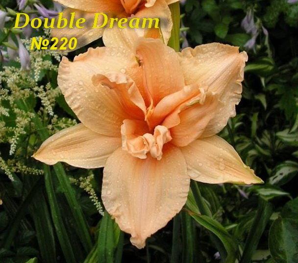 №220 Double Dream ( Дабл Дрим)