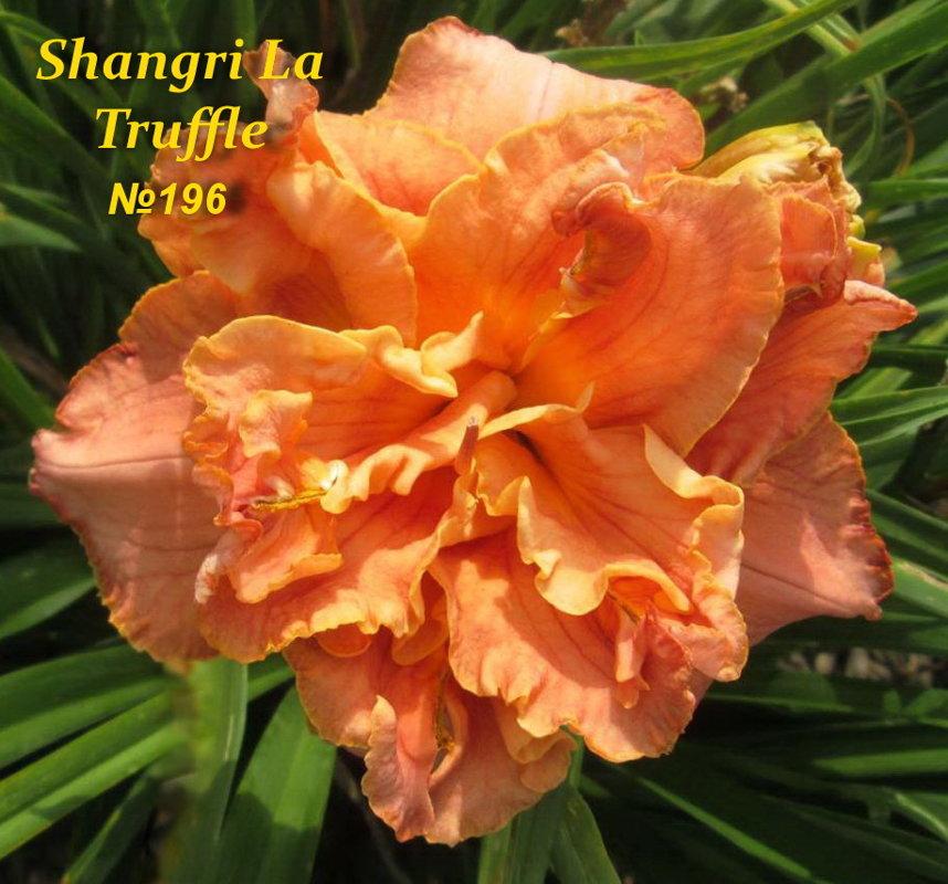 №196   SHANGRI LA TRUFFLE