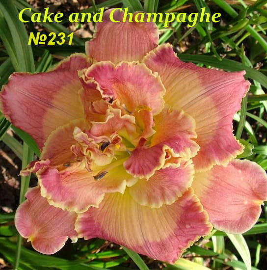 № 231 CAKE AND CHAMPAGNE