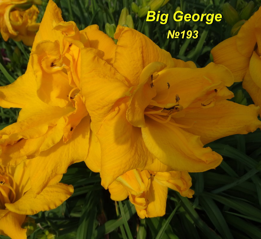 №193 BIG GEORGE