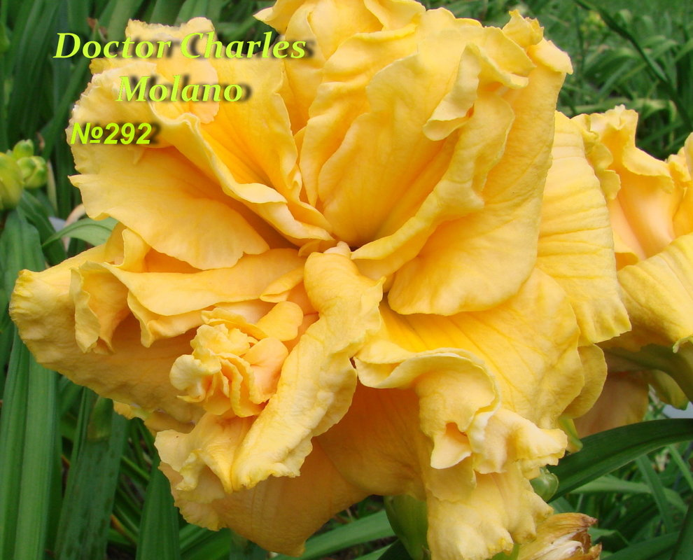 №292 DOCTOR CHARLES MOLANO