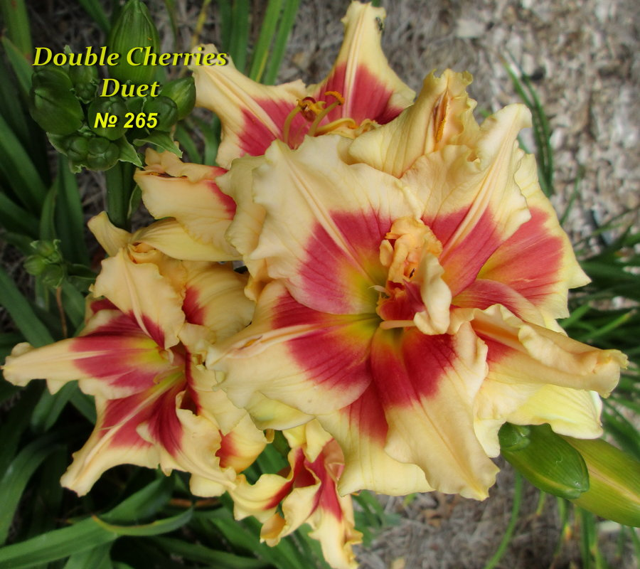 №265  Double Cherries Duet