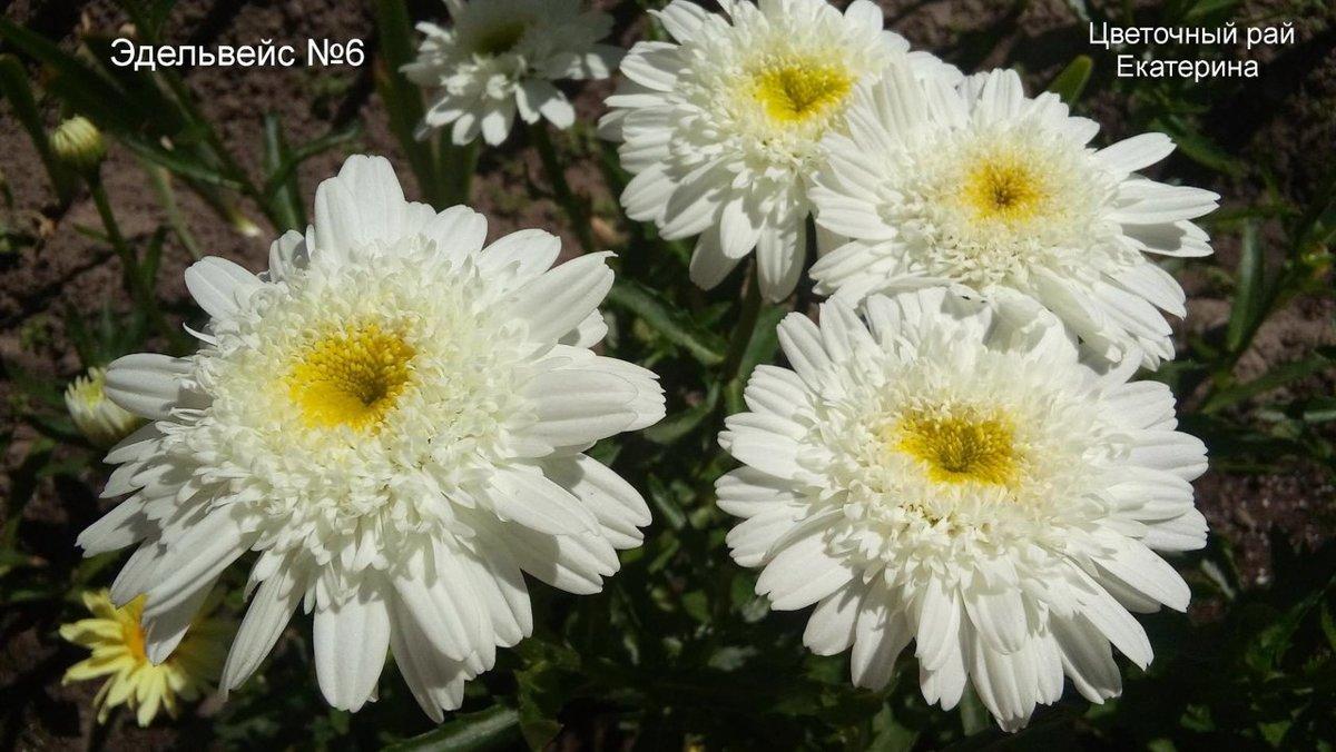 №6  Edelweiss  (Эдельвейс )