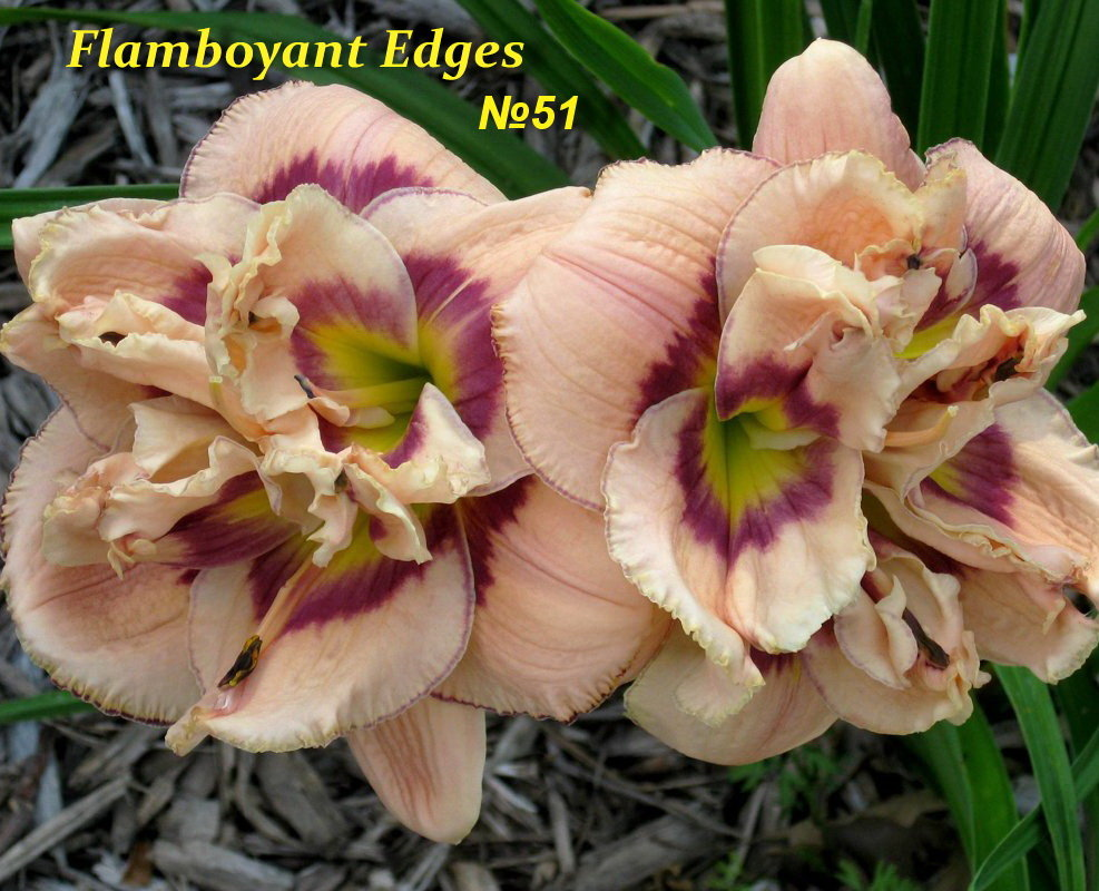 №51  Flamboyant Edges ( Флембоярд Энджес)