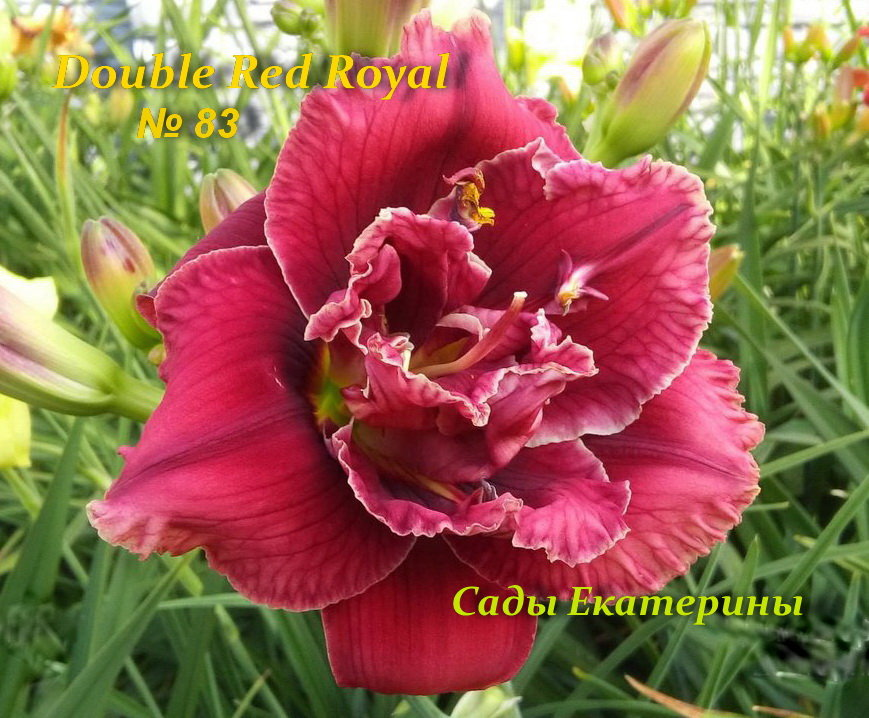 №83  Double Red Royal