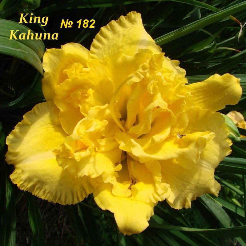 №182 King Kahuna