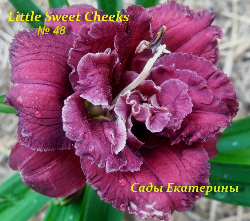№48 Little Sweet Cheeks