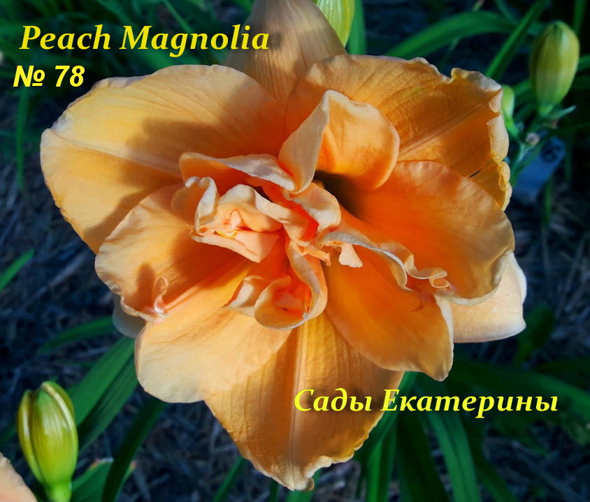 №78  Peach Magnolia ( Пич Магнолия)