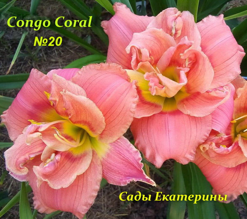 №20  Congo Coral ( Конго Корал)