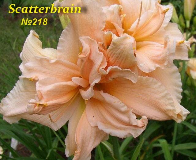 №218 Scatterbrain  ( Скатербрайн )