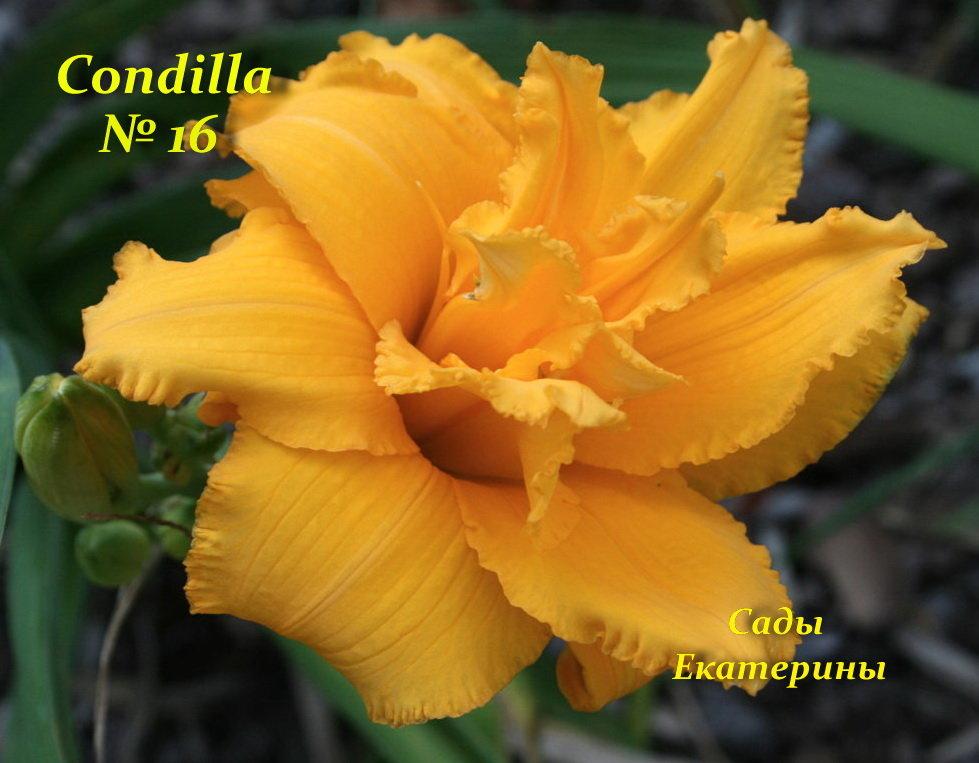 №16 CONDILLA (КОНДИЛЛА)