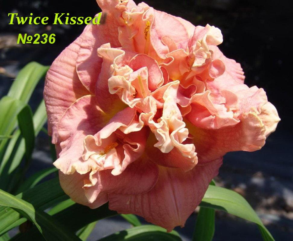 № 236 TWICE KISSED