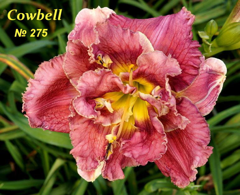 №275  COWBELL