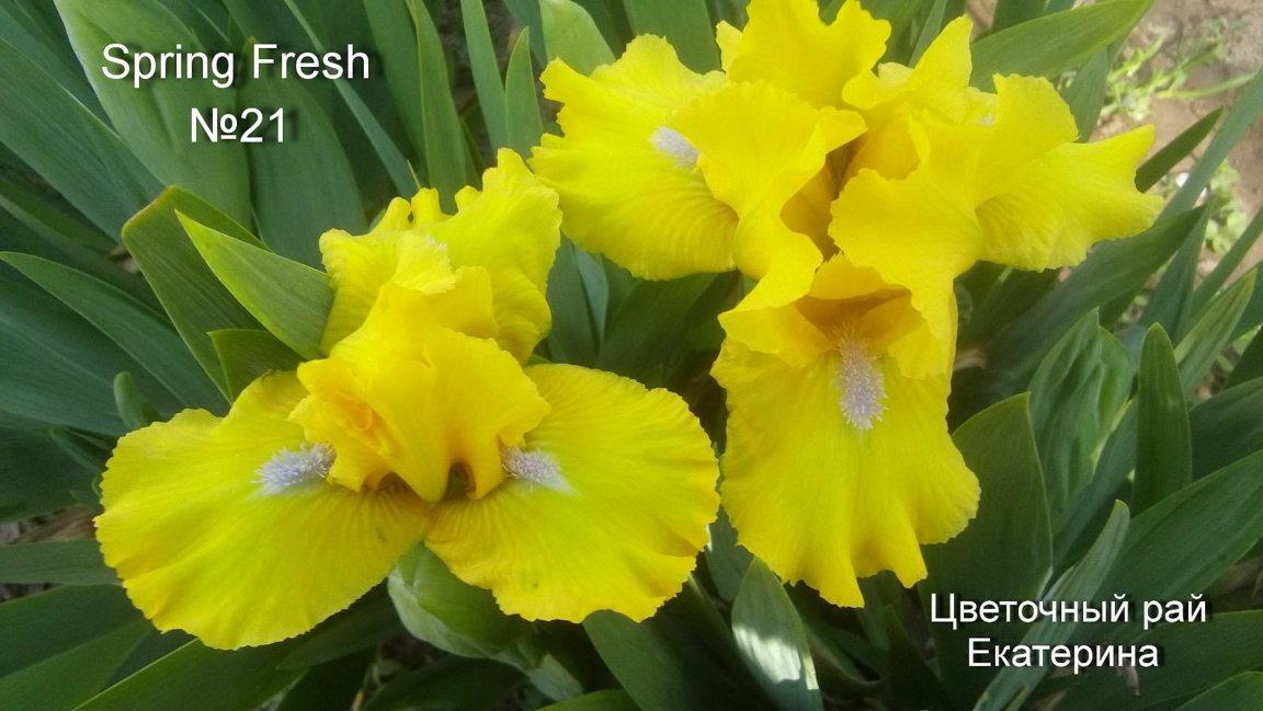 №21   Spring Fresh   (  Спринг  Фреш )