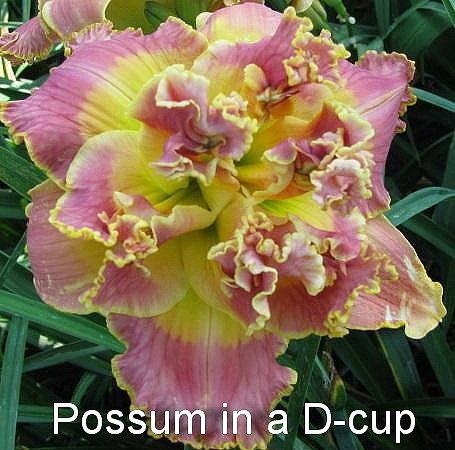 №79    POSSUM IN A D-CUP  - Опоссум в Д-чашке