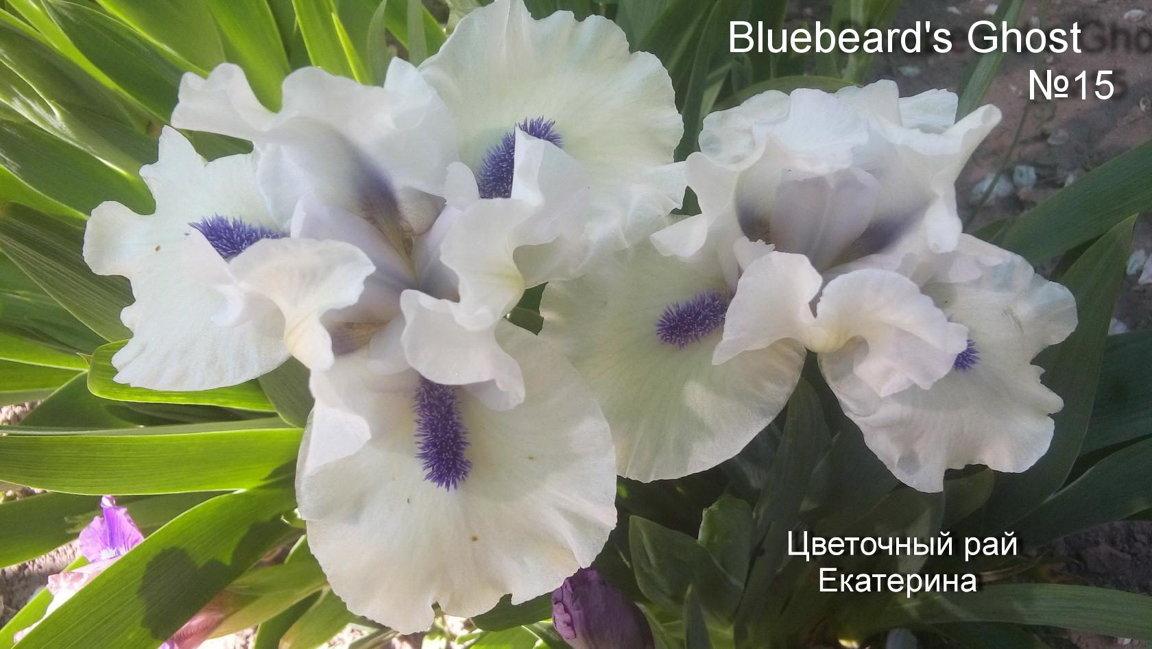 №15 Bluebeard's Ghost (БЛУБИАРДЗ ГОУСТ )