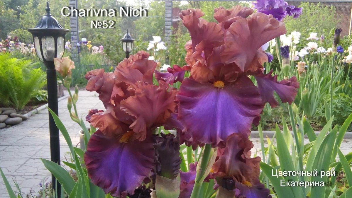 №52 Charivna Nich (Чарівна Ніч )