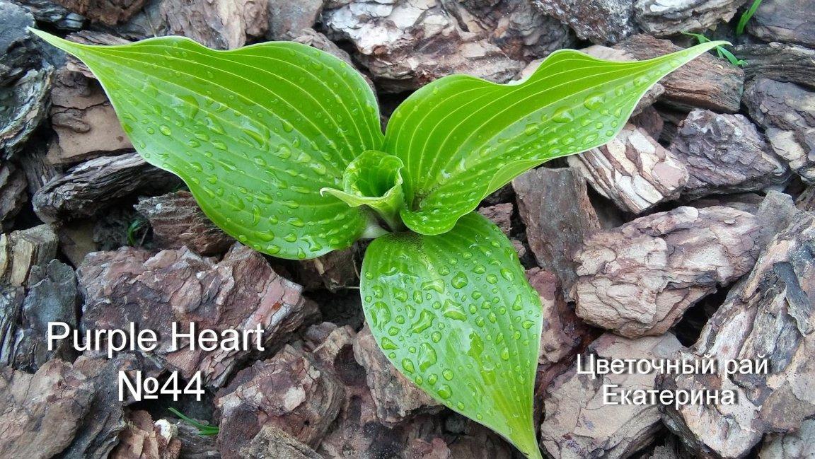 №44  Purple Heart  (Пёрпл Харт)