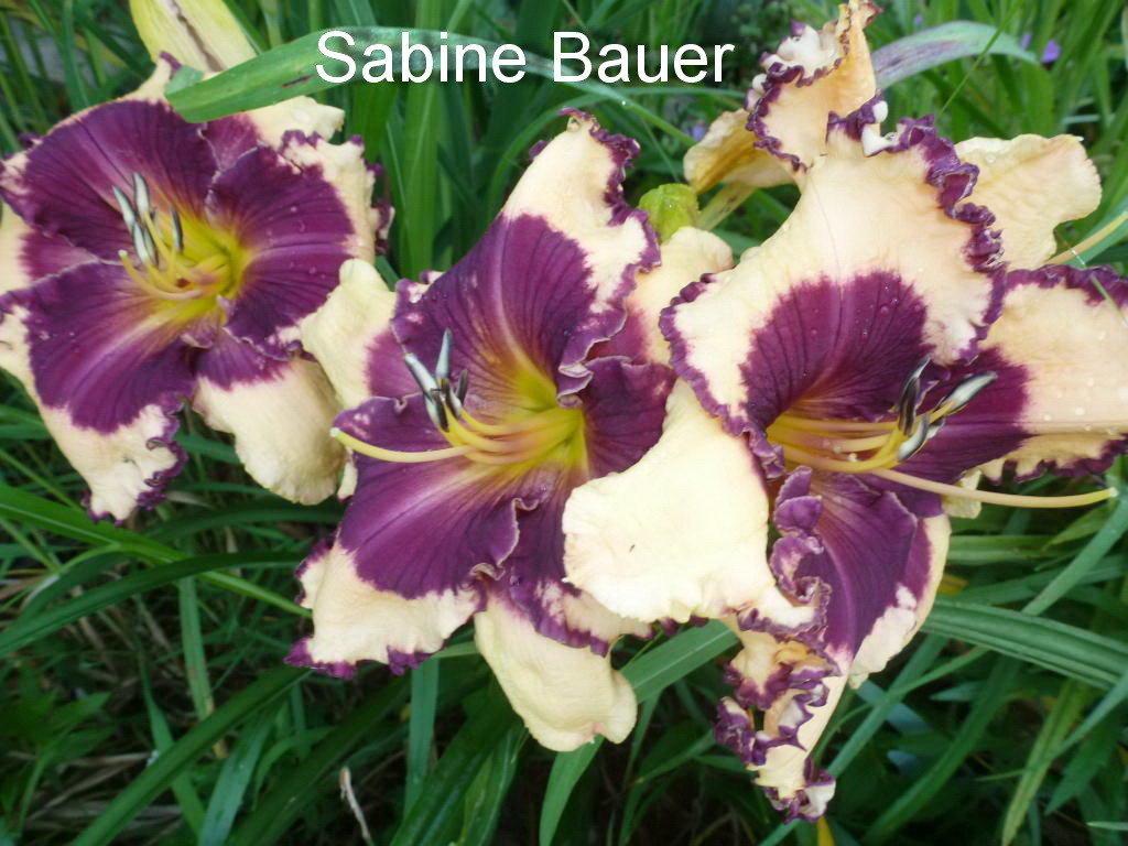 №444  Sabine Bauer