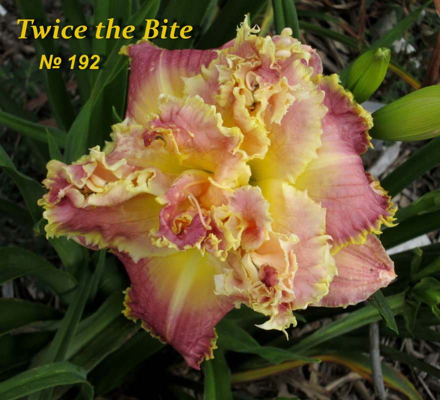 №192  Twice the Bite