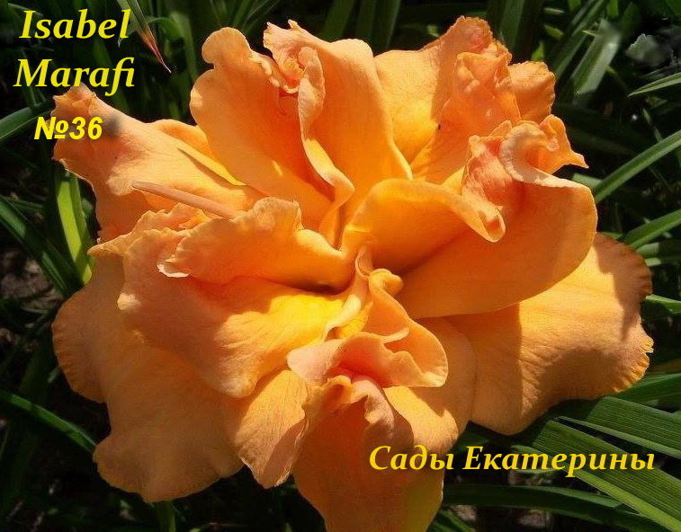 №36   Isabel Marafi